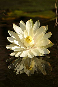 Night waterlily {Nymphaea lotus}. Moremi GR, Okavango  delta, Botswana.  -  Christophe Courteau