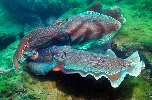 Male Giant cuttlefish sparring with pulsating colour stripes {Sepia apama} South  -  Georgette Douwma