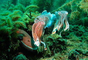 Giant cuttlefish male guarding egg laying female from rival male {Sepia apama} South  -  Georgette Douwma