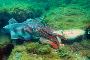 Giant cuttlefish large male mating with much smaller female {Sepia apama} Wayalla, South  -  Georgette Douwma