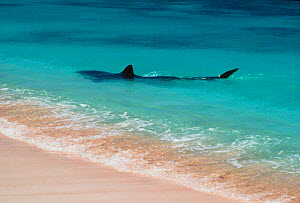 Tiger shark patrolling shallow water for egg laying turtles. Australia {Galeocerdo - Georgette Douwma
