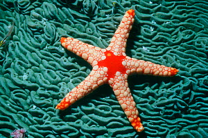 Starfish {Fromia sp} on coral, Maldives, Indian Ocean  -  Georgette Douwma