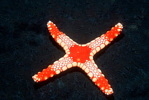 Starfish {Fromia sp} with only four legs, Maldives, Indian Ocean - Georgette Douwma