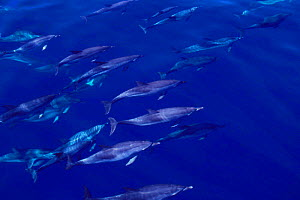 Pod of Atlantic spotted dolphins underwater {Stenella frontalis} Azores, N Atlantic  (Non-ex). - Doug Perrine
