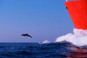 Long beaked common dolphin leaping in bow wake of tanker {Delphinus capensis} Transkei,  (Non-ex).  -  Doug Perrine