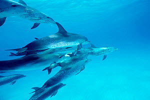 Atlantic spotted dolphins aggressive interaction {Stenella frontalis} Bahamas, Caribbean,  (Non-ex). - Doug Perrine