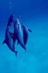 Atlantic spotted dolphins {Stenella frontalis} Bahamas, Caribbean  (Non-ex). - Doug Perrine