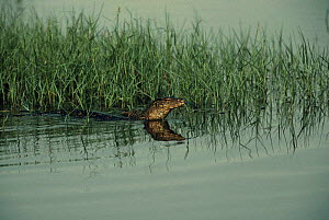 Monitor lizard (Varanidae) swimming in wetlands, Malaysia - STEVE KNELL