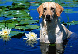 Labrador retriever dog in lake {Canis familiaris} Illinois, USA  -  Lynn M Stone