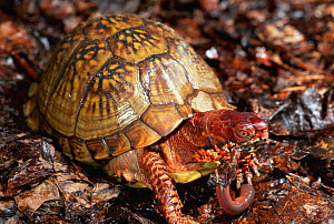 Mexican box turtle {Terrapene carolina mexicana} feeding on earthworm. Mexico  -  Lynn M Stone