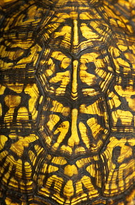 Close up of carapace shell of Eastern box turtle {Terrapene carolina carolina} Michigan, USA  -  Lynn M Stone