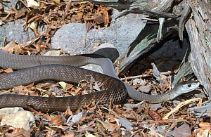 Black mamba snake {Dendroaspis polylepis} captive, from Africa  -  Lynn M Stone