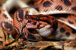 Rainbow boa eating a rat {Epicrates cenchria} captive, from South America  -  Lynn M Stone