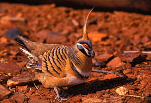 Spinifex pigeon, bowing display {Petrophassa plumifera} Australia - Dave Watts