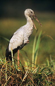 Asian openbilled stork (Anastomus oscitans) standing on one leg with beak open, Keoladeo Ghana NP, Bharatpur, Rajasthan, India  -  Bernard Castelein