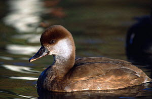 Red crested pochard female on water {Netta ruffina} UK  -  WILLIAM OSBORN