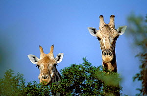 Pair of West African giraffes {Giraffe camelopardis peralta}. Male on right, female on left.  -  Christophe Courteau