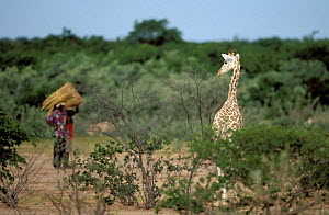 West African giraffe {Giraffe camelopardis peralta} in local village. Sahel, Niger.  -  Christophe Courteau