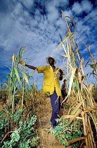 Harvesting millet at end of rainy season. Essential food source to locals, Sahel, Niger. - Christophe Courteau