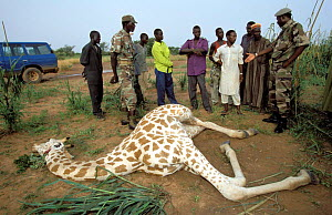 West African giraffe {Giraffa camelopardis peralta} poached by local people. Sahel, Niger.  -  Christophe Courteau