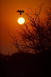 Darter / Anhinga spreads its wings at sunrise, Keoladeo Ghana NP, Bharatpur, Rajasthan, India - Pete Oxford