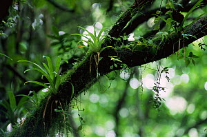 Epiphytes growing on tree in Monteverde Cloud forest, Costa Rica  -  Phil Savoie