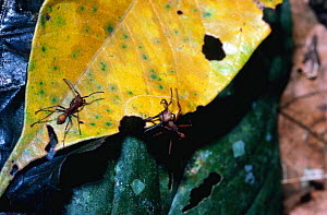Army ants carrying leaf, moving bivouac {Eciton sp} La Selva, Costa Rica - Phil Savoie