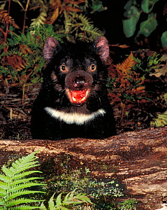 Tasmanian devil portrait {Sarcophilus harrisii} taken in the wild, Tasmania. Endangered species. - Dave Watts