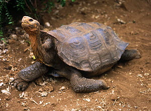 """Lonesome George"", the last Galapagos Tortoise {Geochelone elephantopus} from Pinta Island, Galapagos - MORLEY READ"