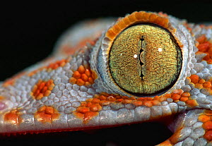 Close up of eye of Tokay gecko {Gekko gecko} captive occurrs Asia - Mary McDonald