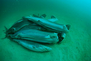 Finned sharks, thrown overboard alive to drown, Central America, Pacific Ocean. - Jeff Rotman