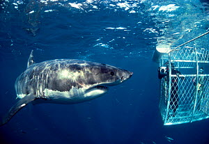 Great white shark inspects divers cage {Carcharodon carcharias} South Australia Model released.  -  Jeff Rotman