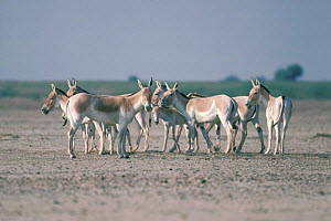 Indian wild asses surround foal in defence {Equus hemionus khur} Little Rann of Kutch - Anup Shah