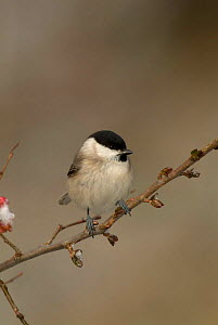Marsh tit {Poecile palustris} Pyrenees, France  -  Dave Watts