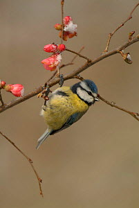 Blue tit {Parus caeruleus} on Japonica flowers in spring, UK  -  Dave Watts