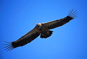 Griffon vulture flying {Gyps fulvus} Pyrenees, Spain  -  Dave Watts