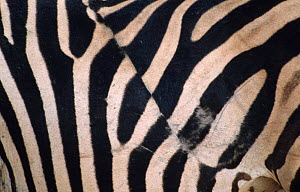 Close up of irregular stripe of Common zebra, probably caused by lion wound. Botswana  -  Andrew Parkinson