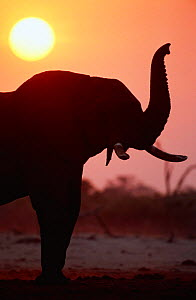 Silhouette of African elephant sniffing the air {Loxodonta africana} Chobe NP, Botswana  -  Andrew Parkinson