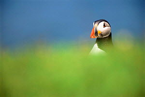 Puffin {Fratercula arctica} Wales, UK.  -  Andrew Parkinson