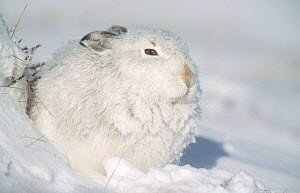 Mountain hare in winter coat huddles behind bank of snow {Lepus timidus} Scotland  -  Andrew Parkinson