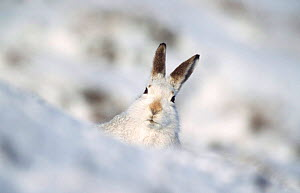 Mountain hare in winter coat peers from behind snow drift {Lepus timidus} Scotland, UK  -  Andrew Parkinson