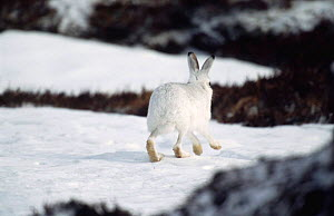 Mountain hare in winter coat running over snow {Lepus timidus} rear view, Scotland, UK  -  Andrew Parkinson