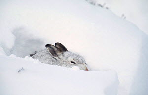 Mountain hare in winter coat rests in snow drift {Lepus timidus} Scotland, UK - Andrew Parkinson
