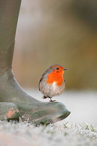 Robin perched on boot {Erithacus rubecula} UK - TJ Rich