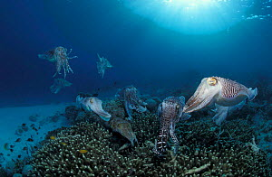Broadclub cuttlefish mating and egg laying {Sepia latimanus} Indo-Pacific - Jurgen Freund