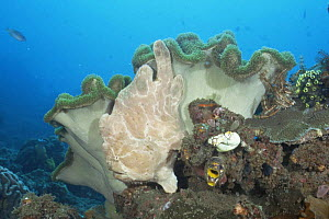 Giant frogfish {Antennarius commerson} on Mushroom Leather coral, Sulawesi, Indonesia  -  Constantinos Petrinos