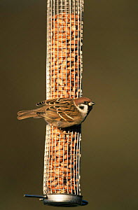 Tree sparrow {Passer montanus} on garden nut feeder. Warwickshire, UK.  -  Mike Wilkes