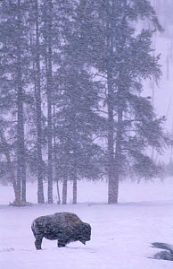 Bison {Bison bison} in snow blizzard. Yellowstone National Park, Wyoming, USA - Pete Cairns