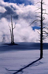 Dead tree, killed by geothermal activity, casting long shadow in snow, Yellowstone , USA.  -  Pete Cairns