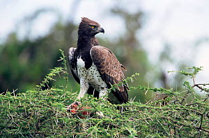 Martial eagle {Polemaetus bellicosus} feeding on Bustard Serengeti NP, Tanzania  -  Mike Wilkes